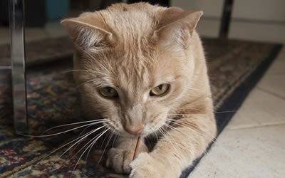 Thumbnail image of cat with string
