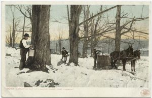 Image of old postcard of maple syrup gathering