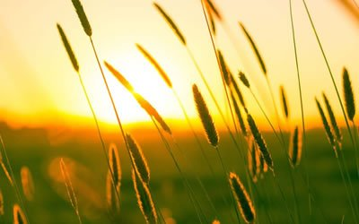 Image of sunset over wheat