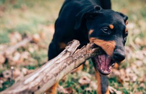 Image of dog with stick