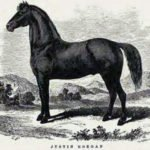 Image of Morgan Horse