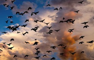 Outlines of birds in darkening sky