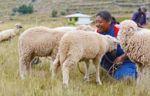 Native American woman with two sheep in a pasture